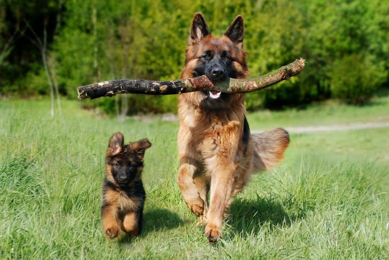 A Schafer dog biting a tree branch walking side by side with a puppy