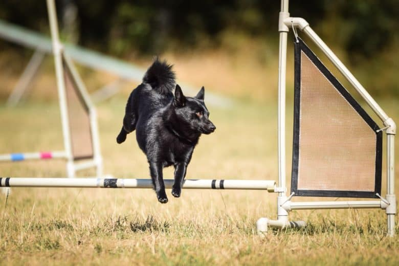 a Schipperke jumping while doing a course training