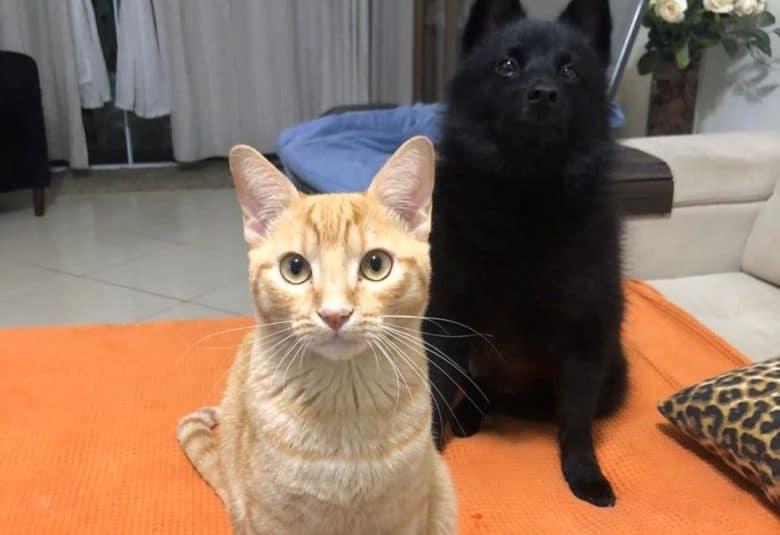 Schipperke sitting with a tabby cat