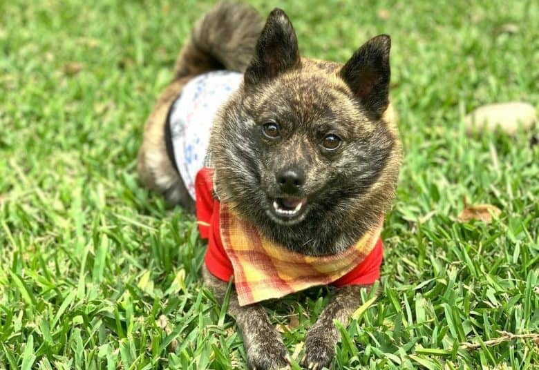 Schipperke wearing adorable outfit while laying on the grass