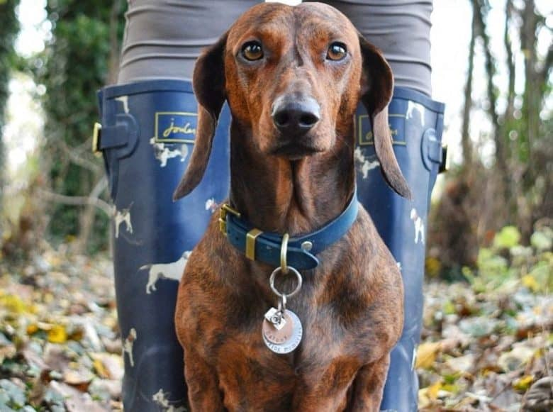 a Brindle Dachshund standing on owners boots wearing a blue collar