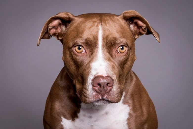 a close up picture of a Brown Pittie