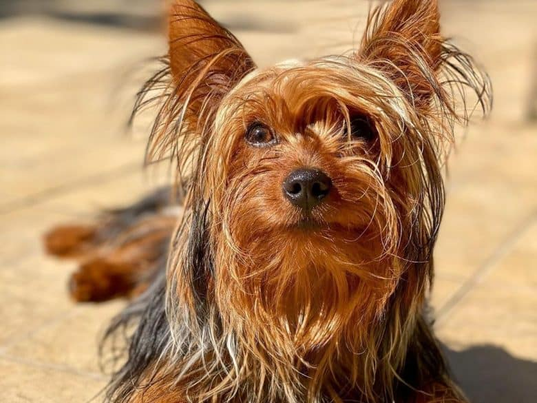 a long-haired Yorkie laying under the sun