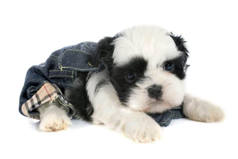 a tiny Black and White Shih Tzu puppy