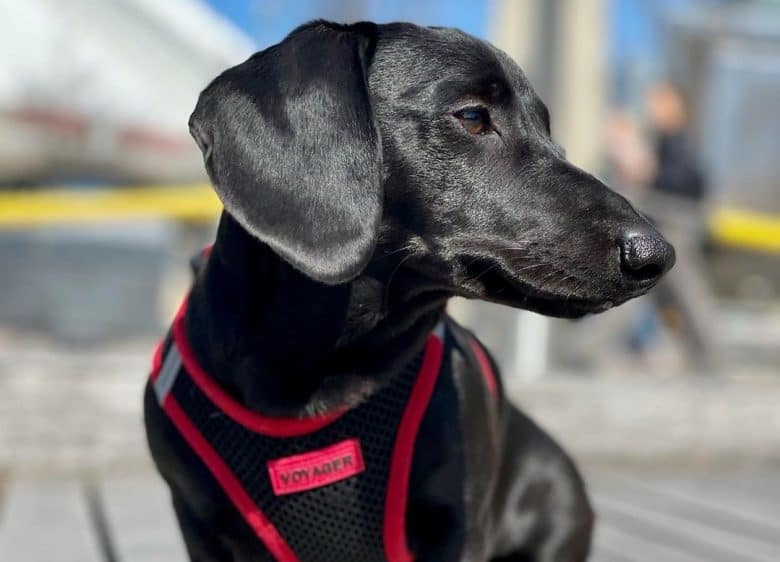 a Black Doxie wearing a black and red dog harness