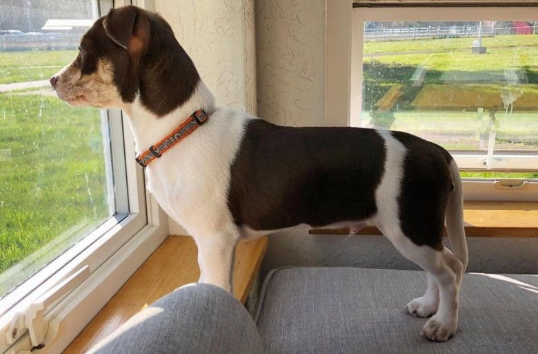A Whippet Rat Terrier standing and looking outside
