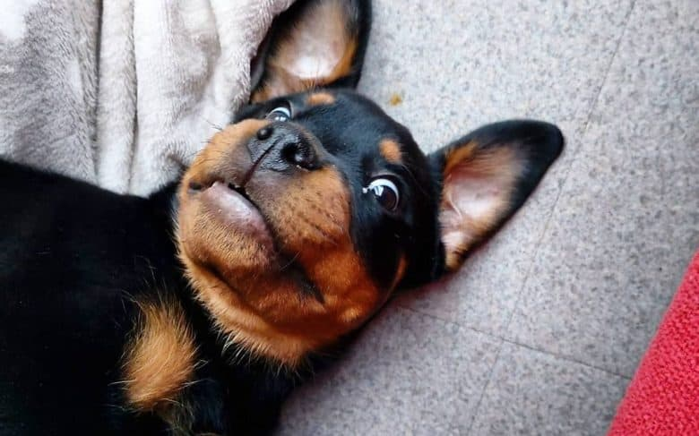 a wacky Rottie laying on the floor