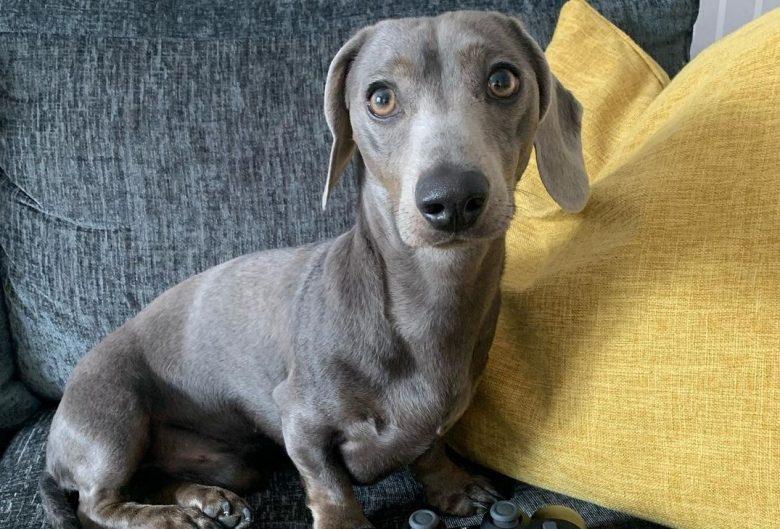 a Miniature Blue Dachshund Puppy on a sofa