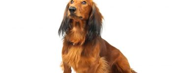a Dachshund looking up and waiting to eat food