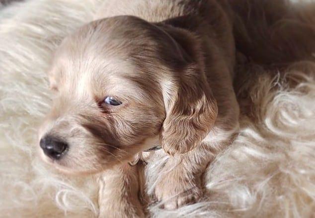 a fluffy Cream Dachshund puppy on a fluffy cream rug