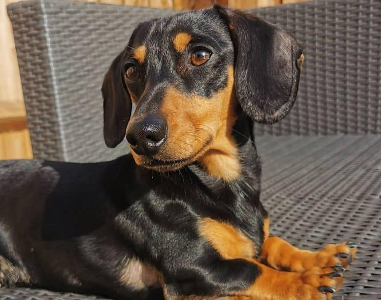 A Smooth-Haired Dachshund lounging on a woven chair