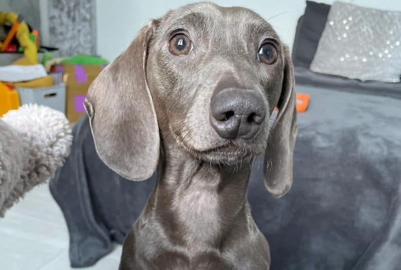 a shiny Blue Dachshund looking over