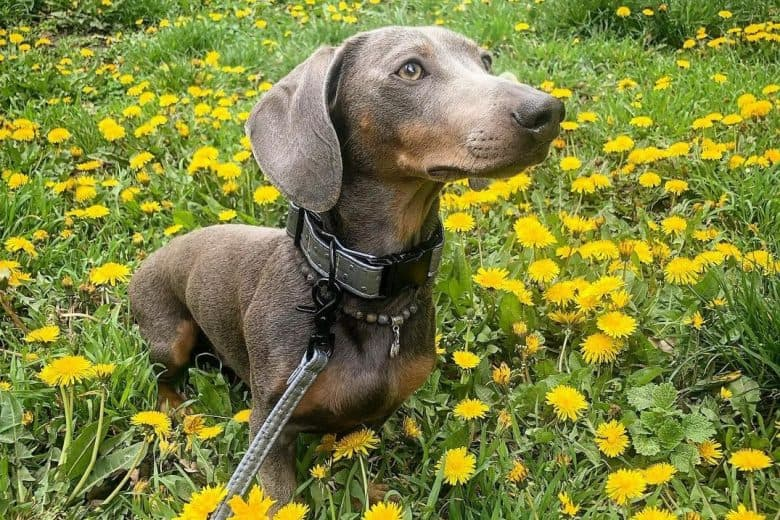 a Blue Dachshund standing on the middle of a flower field