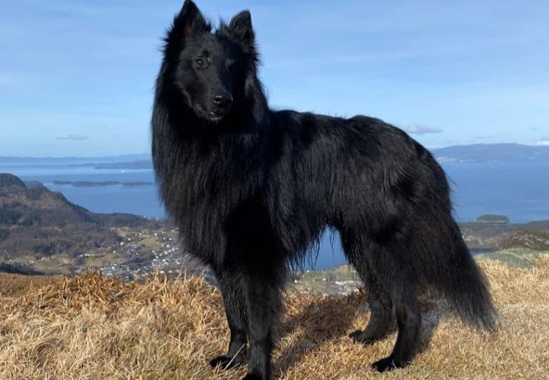 a Groenendael with long black coat standing outdoors