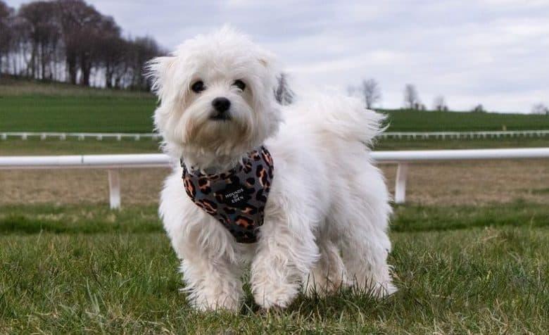 a white Maltichon wearing a leopard print dog harness