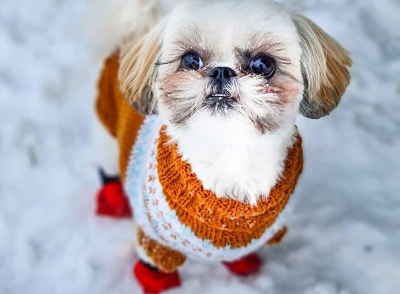 a cold Shih Apso wearing sweater and boots on snow