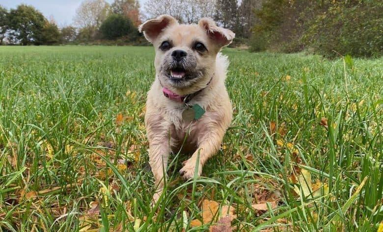 a running Pughasa enjoying the tall grass
