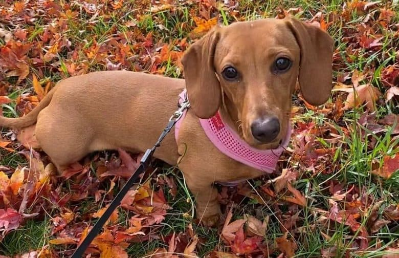 a Tan Dachshund wearing a pink harness while standing on dried leaves