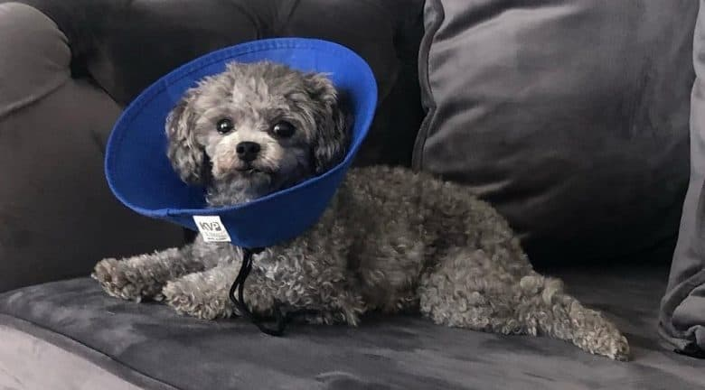 a Teacup Poodle on a couch wearing a blue cone
