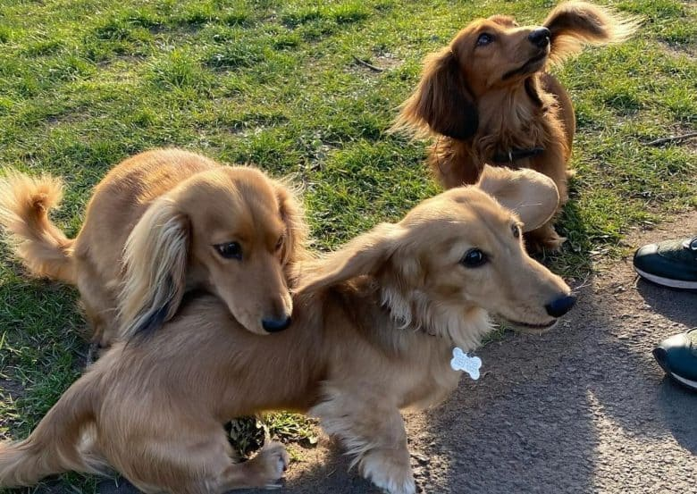 Three Long-Haired Dachshunds playing on the park