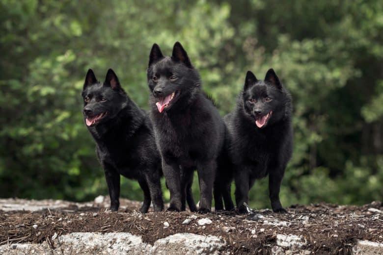 Three happy Schipperke standing outdoors