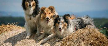 3 tri-color Shetland Sheepdog smiling