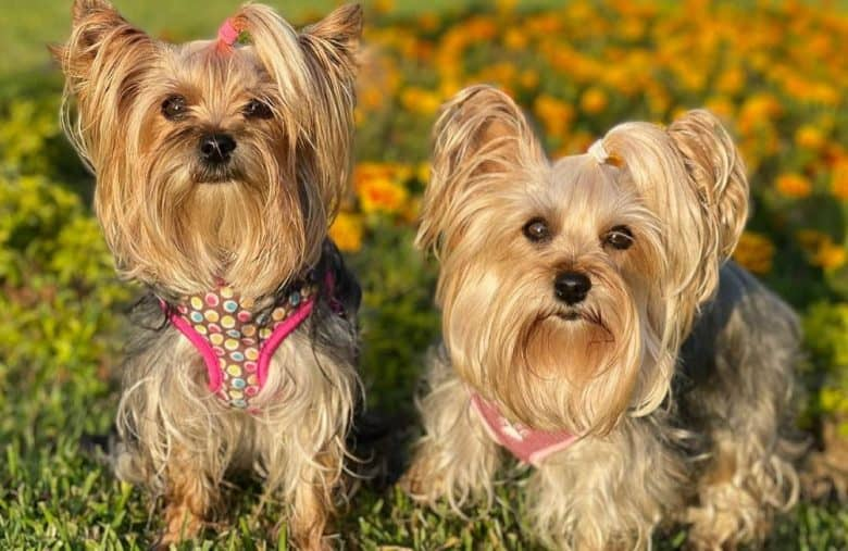 Two captivating Yorkshire Terrier on a flower garden