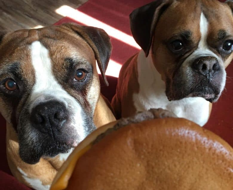 two patient Boxers sitting and waiting for their burger