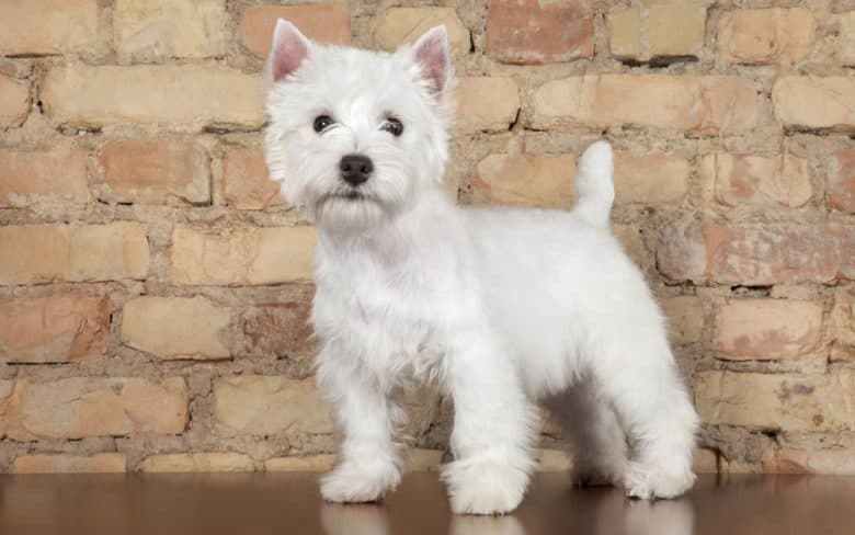 West Highland White Terrier dog against a brick wall