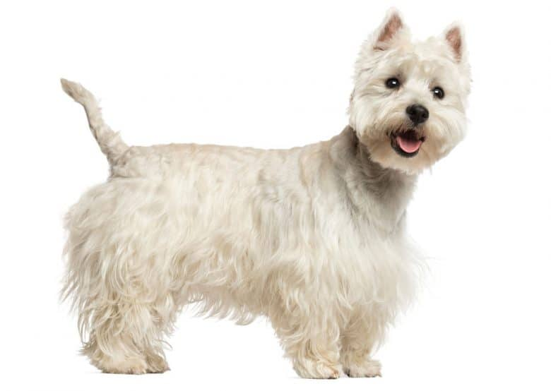A portrait of a West Highland White Terrier dog