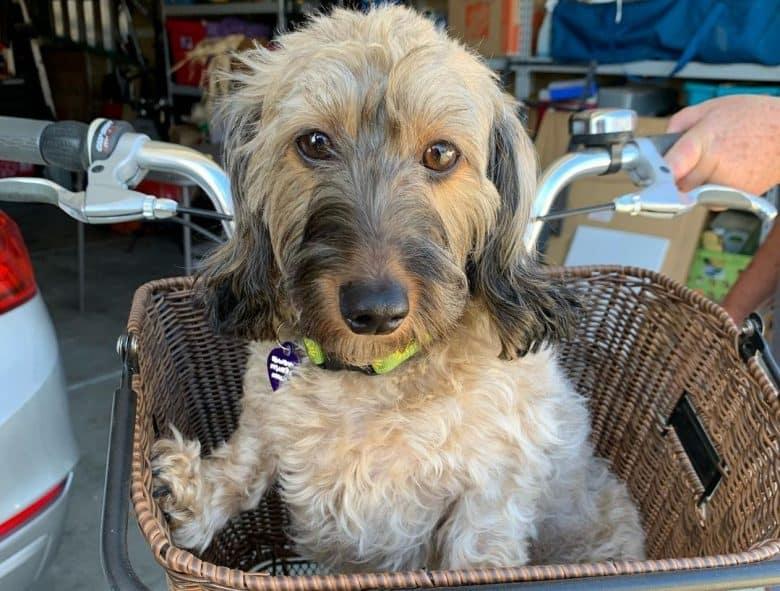 a Wheaton Dachshund inside a basket on a bicycle
