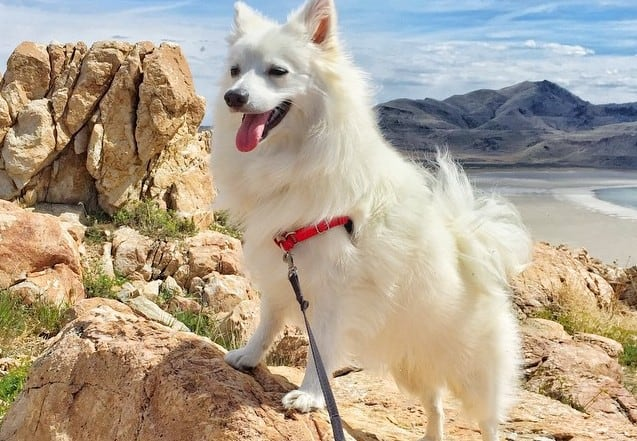 a happy American Eskimo standing on a rock