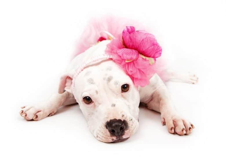 a White Pitbull wearing a pink flower headband