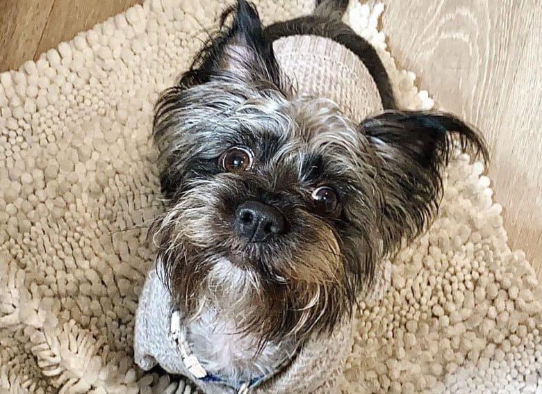 a goofy Silkchon sitting on a soft rug