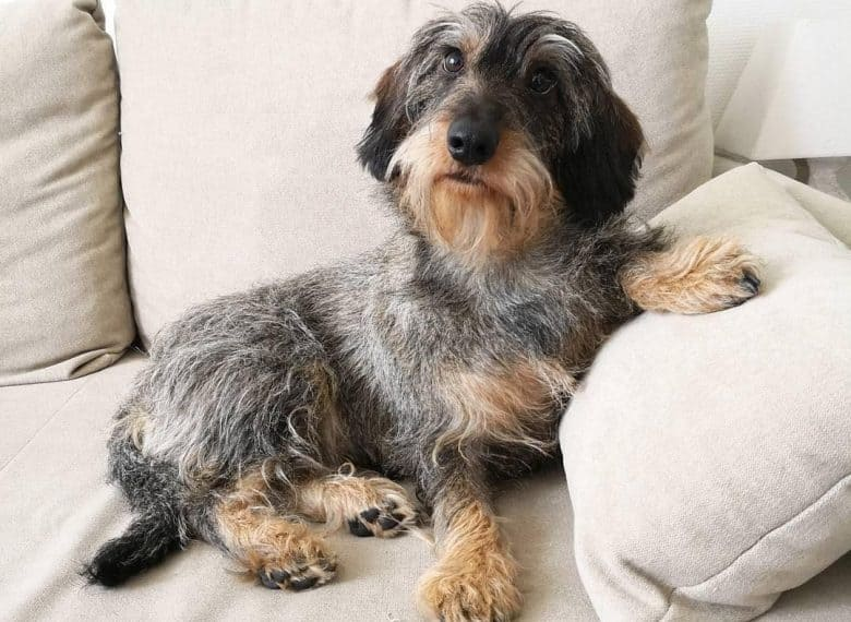 a Wire-Haired Dachshund laying comfortably on a couch with pillow