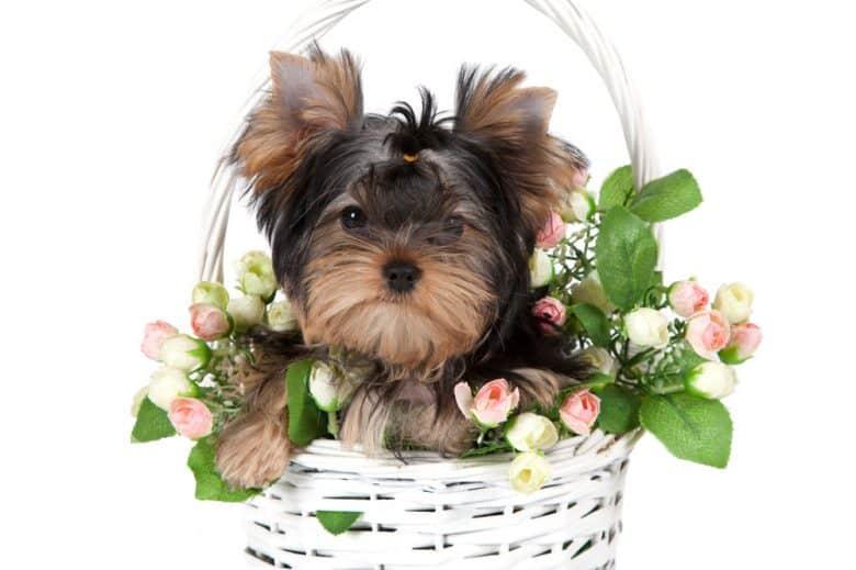 Yorkshire Terrier dog in a flower basket
