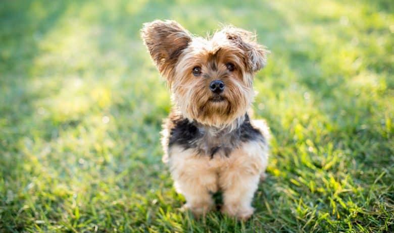 Yorkshire Terrier dog sitting outside