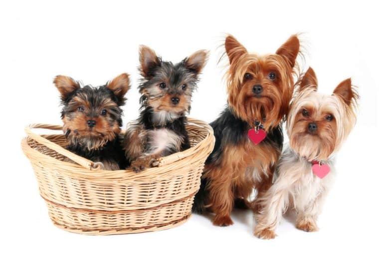 Yorkshire Terrier family portrait