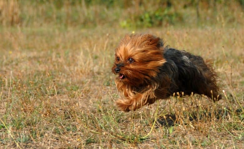 Little Yorkshire Terrier dog running fast in the field
