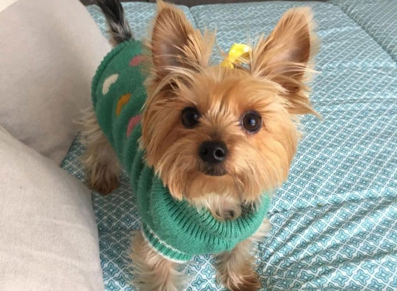 Yorkshire Terrier standing on the bed waiting for treats