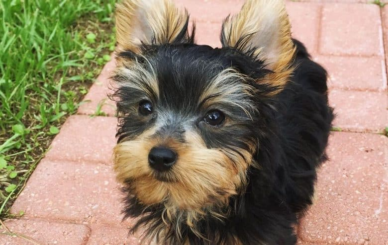 a Black and Gold Yorkie looking up