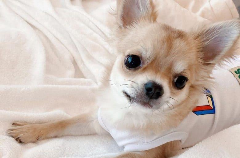 a Chihuahua wearing a sleeveless shirt laying on a bed