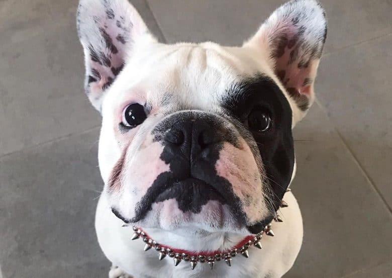 a close-up image of a French Bulldog