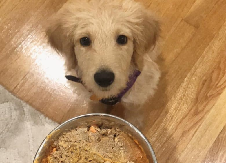 a Goldendoodle puppy waiting for his homemade dog food