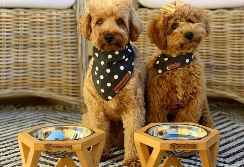 Two Goldendoodles sitting near their dog bowls