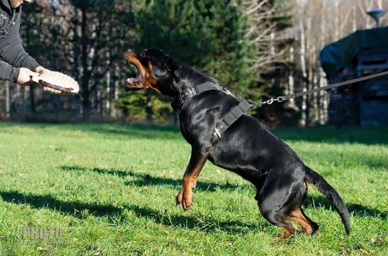 a Rottie training to be a guard dog
