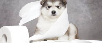a cuddly Alaskan Malamute puppy with toilet paper