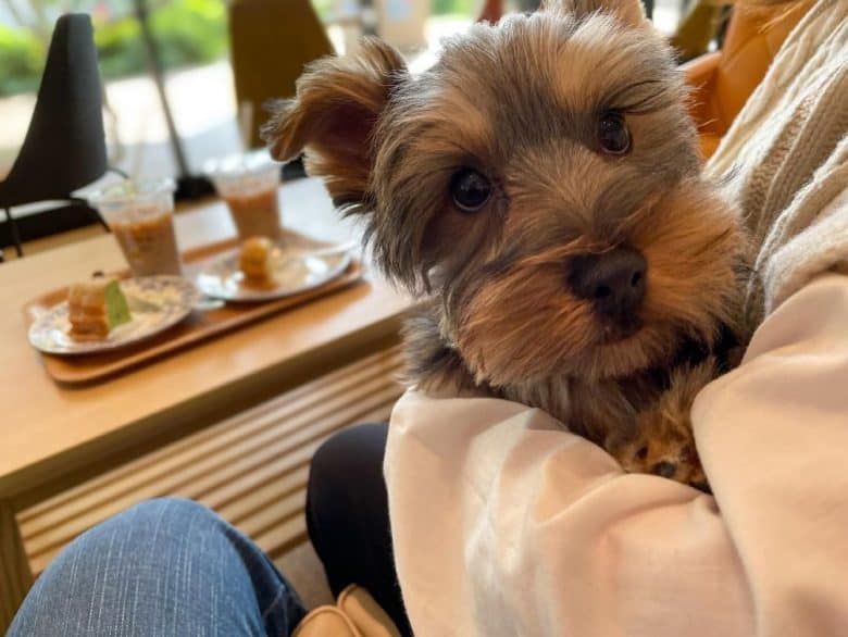 a Yorkie sitting on the lap of its owner