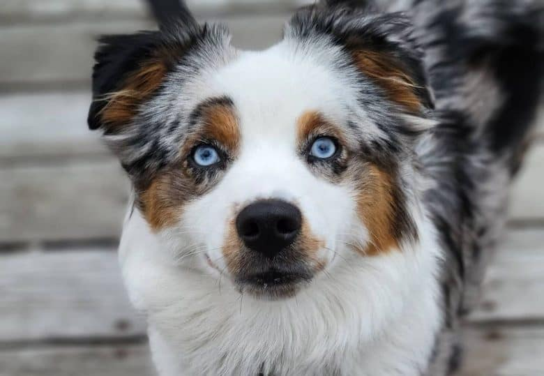 an Australian Shepherd with blue eyes adorably looking up