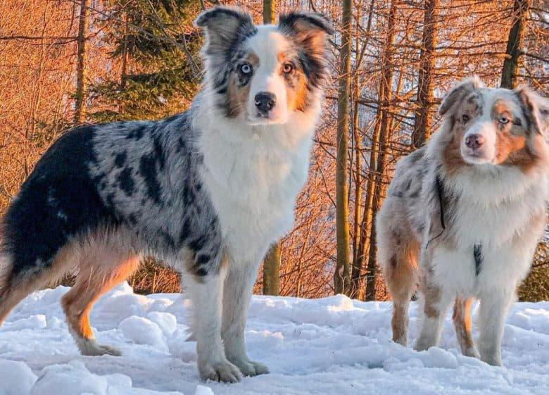 Two Australian Shepherd standing on the snow